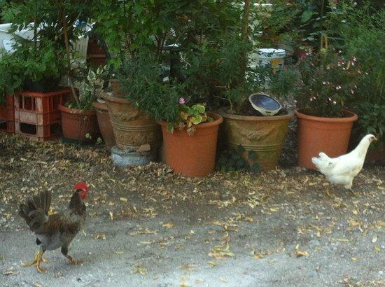 Agriturismo L'Unicorno: le galline!!!