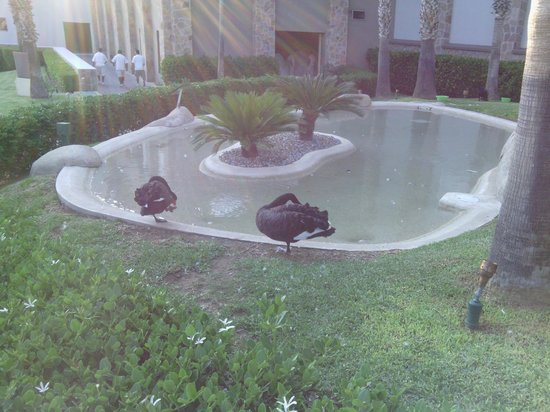 Pueblo Bonito Sunset Beach Golf & Spa Resort: Black Swans by the Adult Pool