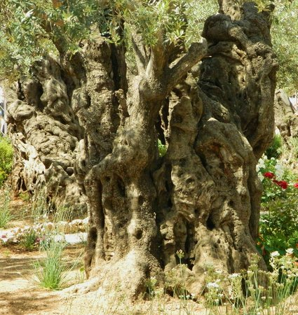 Ancient olive grove picture of garden of gethsemane for Age olive trees garden gethsemane