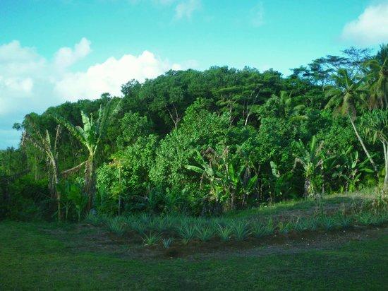 Kia Orana Bungalows: banana plantation behind bangalows