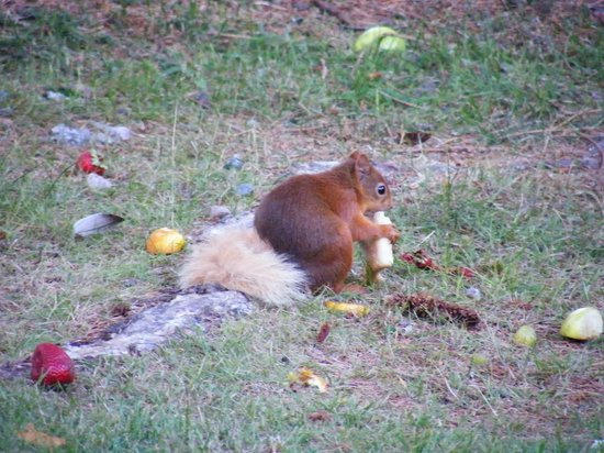 Fairwinds Hotel: regular visit from the red squirrel