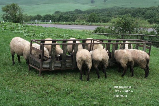 Tawadaira: 多和平のサフォーク子羊