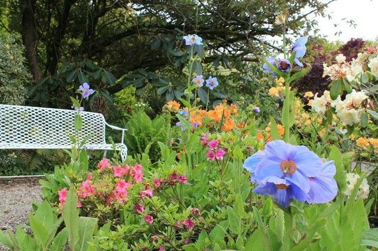 Foynes, Ireland: The garden has a wonderful collection of perennials including the lovely mecanoposis/ blue poppi