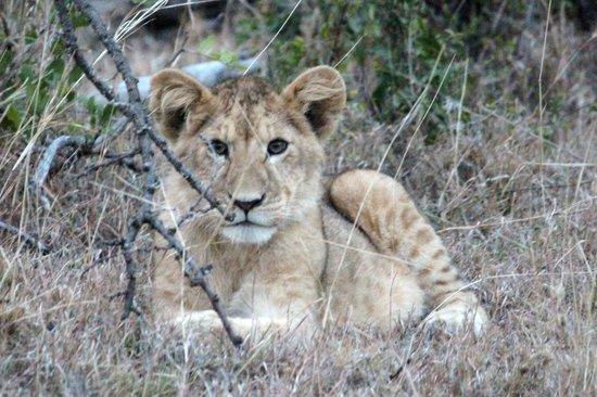 Porini Mara Camp: 1 of the cute lion cubs
