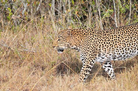 Africa Veterans Safaris - Day Tours: Leopard