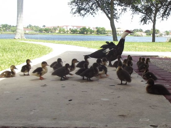 La Quinta Inn & Suites Jacksonville Butler Blvd: Ducks wandered up from the pond. So sweet!