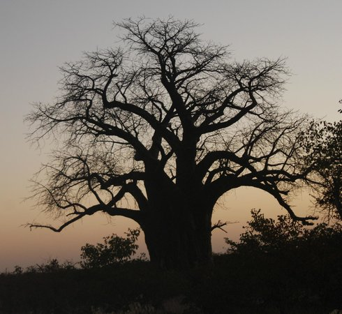 Mashovhela Bush Lodge: Baobab Tree