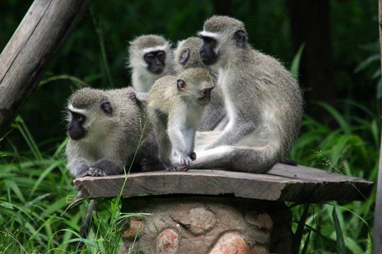 Mashovhela Bush Lodge: Monkeys playing outside