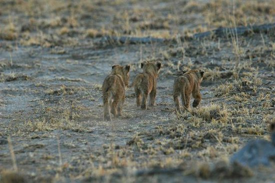 Belmond Savute Elephant Lodge: Lion cubs nearly run over by Orient Express driver