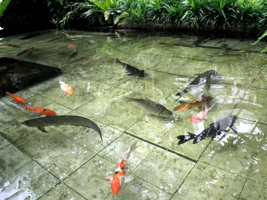 fish pond with koi and arowana foto di entopia teluk
