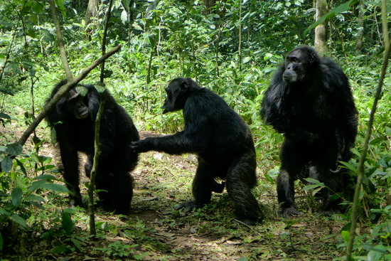 Kibale National Park : Chimps walking around