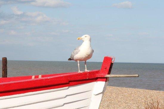 Pattles Farm: Seagull in Aldeburgh