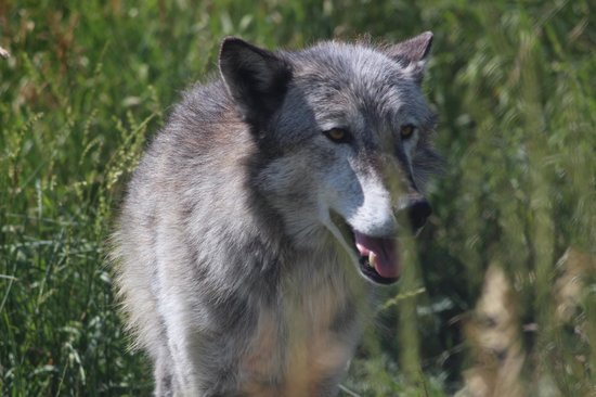 Howlers Inn Bed & Breakfast and Wolf Sanctuary: One of the local residents!