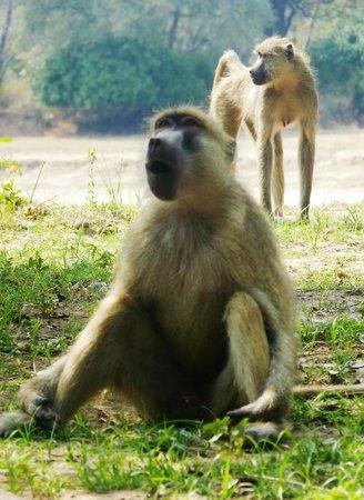 Thornicroft Lodge: Monkeys at Thornicroft