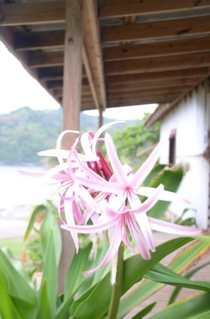 Pagua Bay House Oceanfront Cabanas: Magnifique Lys de Pâques odorant
