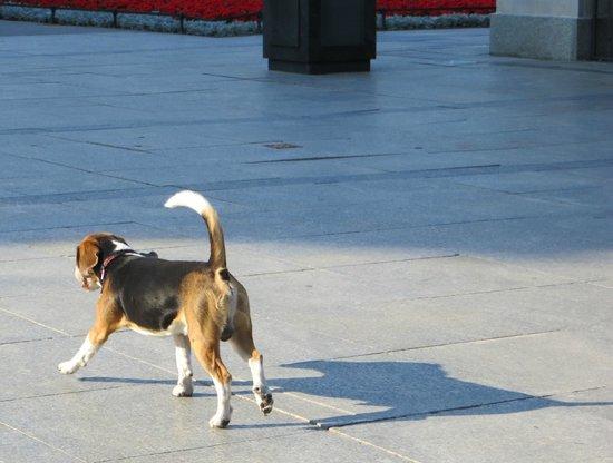 Saxon Gardens: a happy beagle trotting along