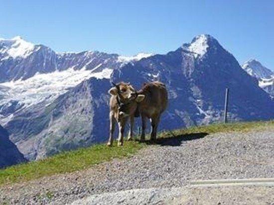 Grindelwald, İsviçre: Swiss Cows