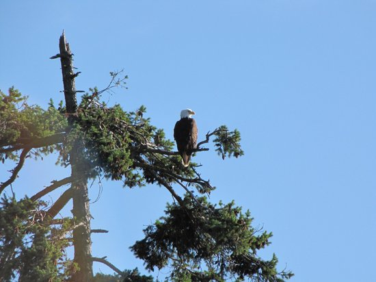 Heron's Landing Hotel: bald eagle we saw from the patio