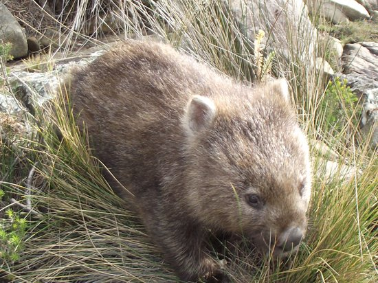 Cradle Mountain Highlanders Cottages: local WOMBAT