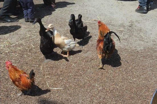 Golden Gate Fields: Ducks & chicken in animal petting area