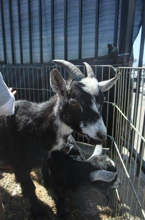 Golden Gate Fields: Goat in animal petting area