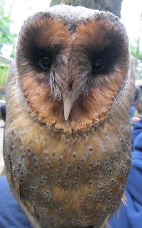 The Rutland Falconry and Owl Centre: Jacko the black faced barn owl
