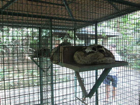 Luwak Civet Coffee Farm: Caged civet cats, on this farm forced to have a diet of only coffee cherries