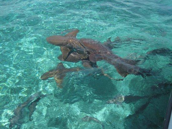 Royal Palm Island Resort: le snorkeling avec les requins sur la barriere de corail
