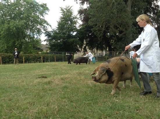 The Hawthornes: showing our sow, Bella, at Thornton show