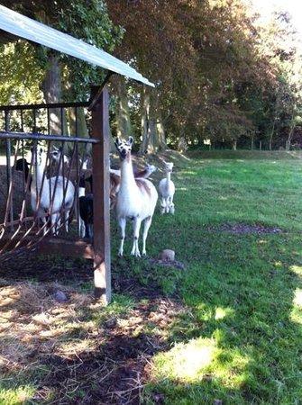 Le domaine des platanes : lamas