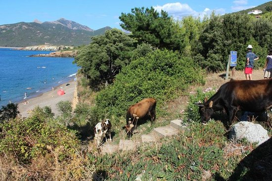 U Filipaghju : vacche occupano accesso spiaggia