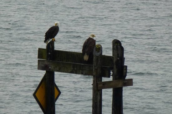 Ketchikan Taxi Cab Tours: Majestic Bald Eagles!