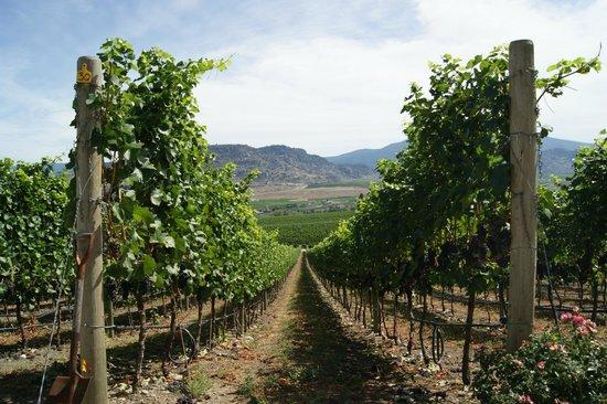 Road 13 Vineyards : Beautiful vineyard