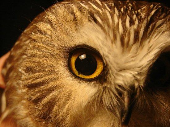 Observatoire d'Oiseaux de Tadoussac : Petite Nyctale baguée à l'Observatoire