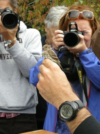 Observatoire d'Oiseaux de Tadoussac : Photo de passereaux lors du baguage