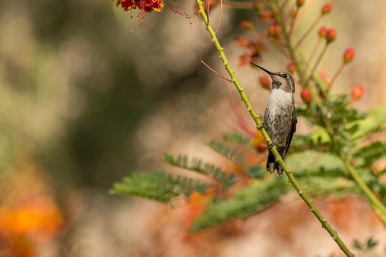 Desert Riviera Hotel: Early mornings are great! Here is one of the many hummingbirds that show up in the morning.