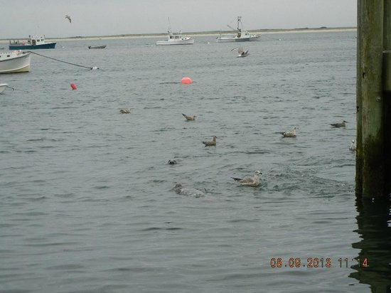 Chatham Pier and Fish Market: Seals and Seagulls