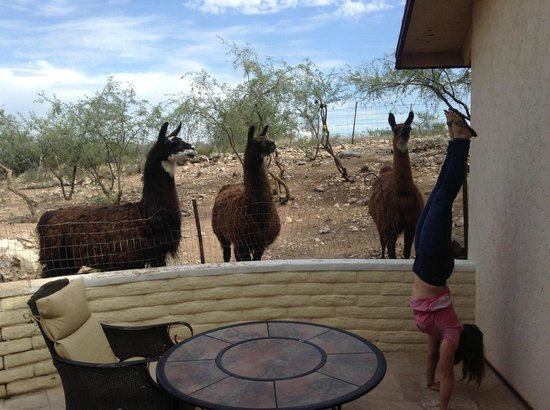 Desert Rose Bed and Breakfast : Llamas!