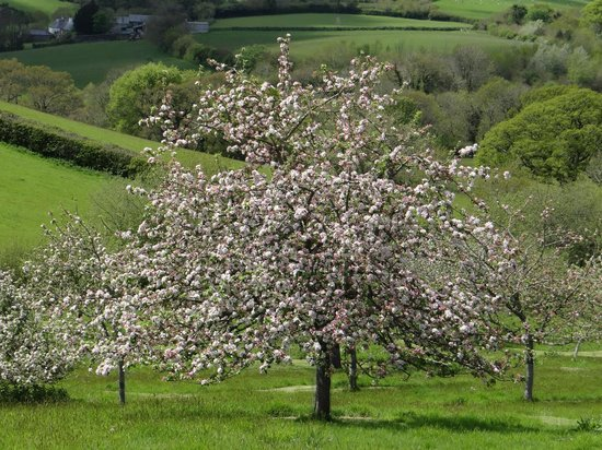 Lantallack Getaways: One of the apple trees in blossom in Lantallack's main orchard
