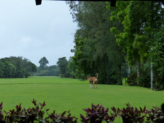 Tollygunge Club: Tolly is always a lot of green. And those beautiful dogs.