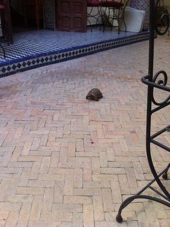 Riad Jardin Chrifa : 中庭で飼われているリクガメ