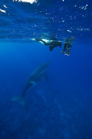 Les Baleines autour de Rurutu.