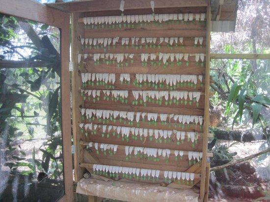 Dream Valley : les cocons de papillons dans la ferme aux papillons