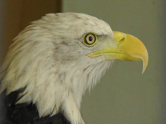 World Center For Birds of Prey: Bald eagle