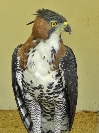 World Center For Birds of Prey: Ornate hawk eagle