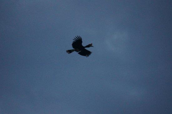 Sukau Rainforest Lodge: Hornbills!