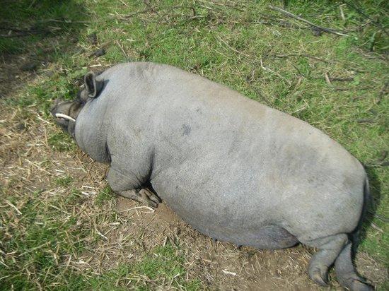 Mabie Farm Park: Piggy