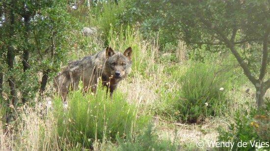 Centro de Recuperação do Lobo Ibérico: Peneda