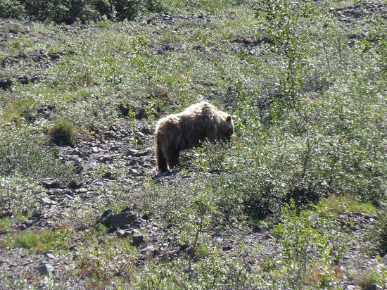 Wilderness Access Center : Brown bear