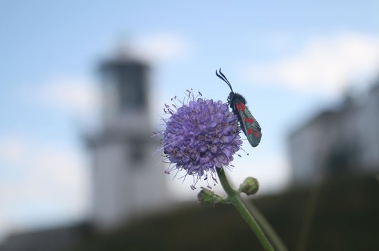 Blackhead Path: 6-spot Burnet moth, light house behind.